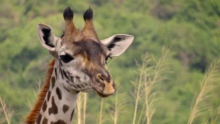 Velká migrace Tanzánie 7 dní - Privátní safari KOMFORTNĚ