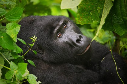 Trek za horskými gorilami – kam vyrazit a jaké pokyny je třeba dodržet?