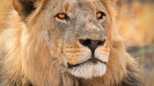 Predátoři v divočině Botswany - luxusní kempování a úžasné safari v národním parku Chobe a rezervaci Moremi