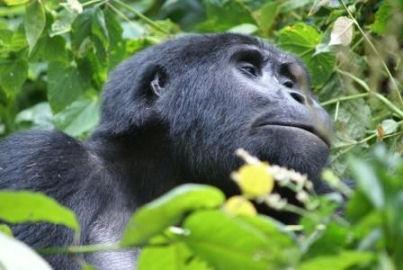 TREK HORSKÉ GORILY - UGANDA