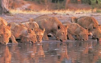 Lvice v národní parku Maasai Mara