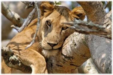 stromoví lvi v Lake Manyara