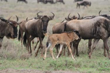 velká migrace pakoňů v serengeti