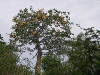baobab květ