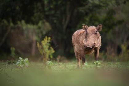 safari v Africe