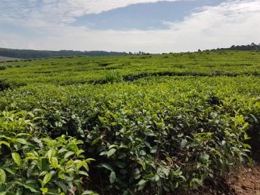 inspekční cesta do Malawi - návštěva čajových plantáží