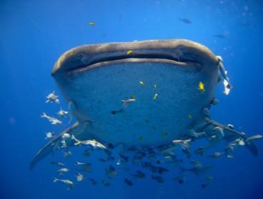 šnorchlování s whale sharks
