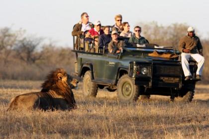 Nádhera - krásný lev a jenom Vaše auto v privátní rezervaci.