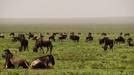 velká migrace serengeti
