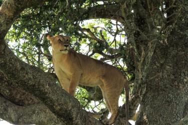 stromoví lvi tanzanie